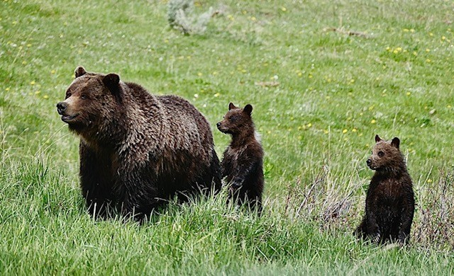 Grizzly mother and cubs in Yellowstone National Park. Photo by Kent Taylor.