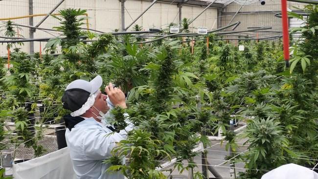 Inspecting GPR hemp plants