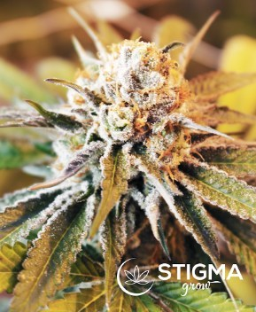Stigma Grow Craft Cannabis: Misoma (CNW Group/CanadaBis Capital Inc.)