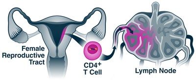 After HIV infects CD4+ T cells in a woman's reproductive tract, it modifies the cells to facilitate their transit to the lymph nodes, where it can infect more cells.