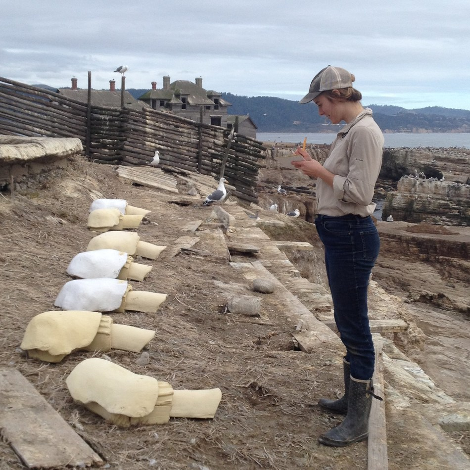 A biologist from Oikono Ecosystem Knowledge records breeding seabirds' use of durable ceramic nests customized to withstand high temperatures and erosion on Año Nuevo Island.
