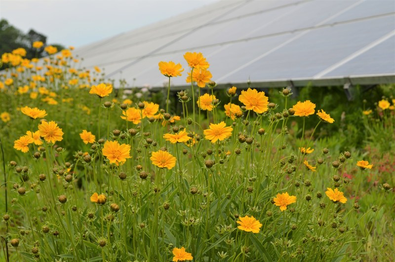 Pollinator-friendly habitat at the Perdue Farms' solar installation located at their headquarters in Salisbury, Maryland