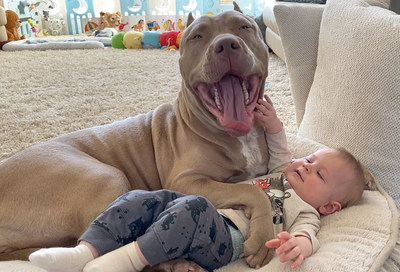 Award Winning Breeders Of World Famous Two Faced Merle American Bully Phantom Send Important Message To Dog Lovers Everywhere American Bullies Are The Perfect Family Dog Let Us Show You