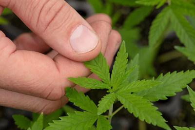 Green Point Research hemp plant