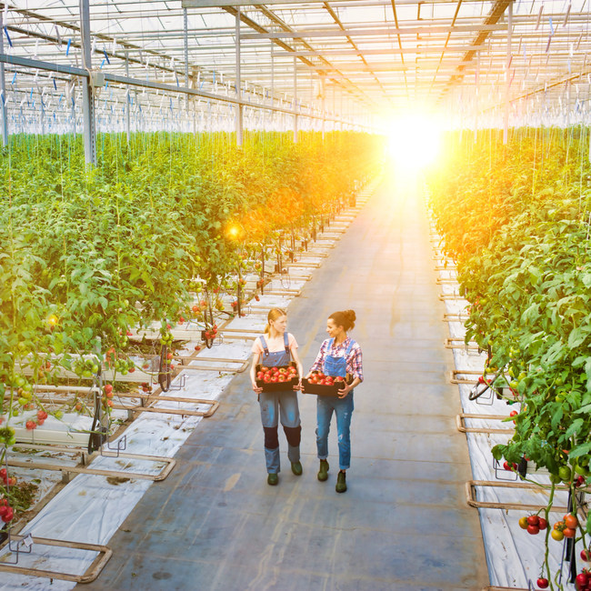 Greenhouses with UbiGro® consistently produce larger crop yields by enhancing the spectral quality of sunlight.