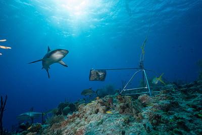 Tubarão de recife caribenho e sistema de vídeo subaquático remoto com isca, fotografados nas Bahamas. Crédito da foto: Andy Mann/Global FinPrint