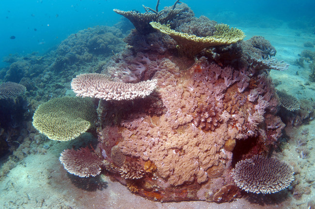A Memorial Reef growing coral