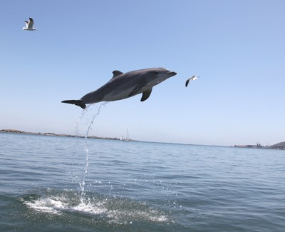 For more than 60 years, the U.S. Navy has cared for and closely monitored the health and welfare of a sustained population of approximately 100 bottlenose dolphins. Due to their access to ongoing healthcare, a reliable and well monitored daily diet, and protection from predators and other native stressors, Navy dolphins now live more than 50 percent longer than wild dolphins and are providing important insights into healthy aging.