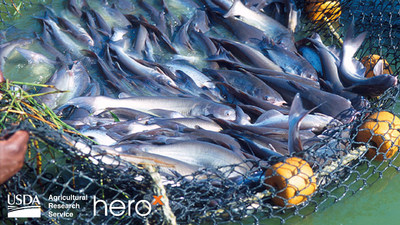USDA and HeroX Launch Challenge to Protect the Natural Flavor of Catfish