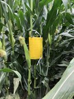 Corn rootworm monitoring program guides growers in making informed management decisions
