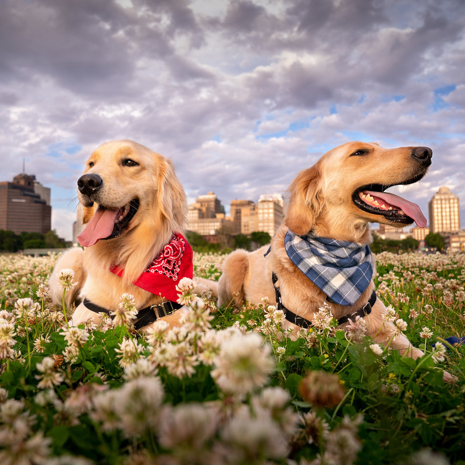 St. Jude pet therapy dogs Puggle (left) and Huckleberry (right) have their own fundraising pages in support of PAWS for St. Jude during National Dog Week from Sept. 20-26. Participants may join one of their teams, grab a leash, and walk their own dogs to make a PAWSitive difference for the kids of St. Jude Children's Research Hospital.