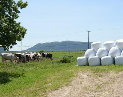 Les agriculteurs possédant du bétail conservent généralement le foin et l'ensilage sous pellicule de plastique. Bien qu'il s'agisse d'un outil agricole avantageux, le plastique nécessite une gestion en fin de vie utile. Ce projet d'AgriRÉCUP examine comment les emballages en plastique et autres matériaux usagés peuvent être récupérés pour être recyclés.  - Photo AgriRÉCUP (Groupe CNW/AgriRÉCUP)