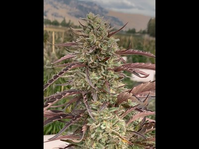 SpeakEasy Outdoor Complex (CNW Group/Speakeasy Cannabis Club Ltd.)