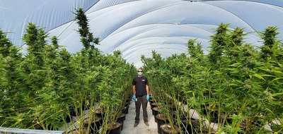 VIVO Cannabis™ Begins Largest Harvest in Company's History (CNW Group/VIVO Cannabis Inc.)