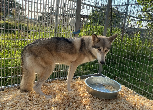 One of eleven rescued wolves in a transfer cage awaiting transportation to The Wild Animal Refuge in Colorado.  Eleven wolves, three tigers, a grizzly bear and black bear are the last animals to be removed from the Greater Wynnewood Exotic Animal Park in Oklahoma.