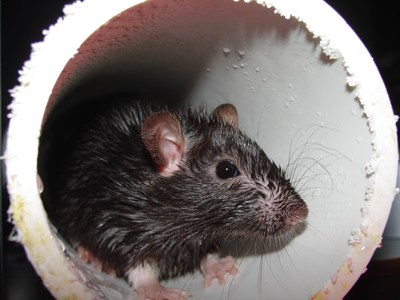 Rodents can cause structural damage as they gnaw on electrical wires, gas lines and support beams.