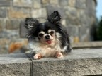 Four-Pound Dog Who Gives Away Tons of Love Wins Nation's Top Title at the 2020 American Humane Hero Dog Awards®: 10th Anniversary Celebration