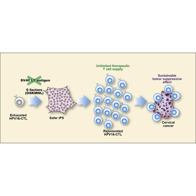 Molecular Therapy, 2020 Using rejuvenated T Cells derived from iPSCs leads to a sustained tumor-suppressive effect in cervical cancer