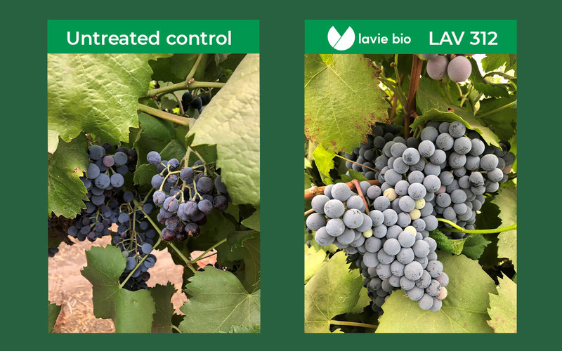 Example of treatment with LAV312 against Botrytis Cinerea in vines – untreated control vs treated vines