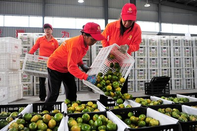 Workers pack export-bound citrus fruits in Yichang, Hubei province.