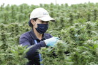 PharmaCielo Begins Harvest of High-THC Cultivars for Extract Export