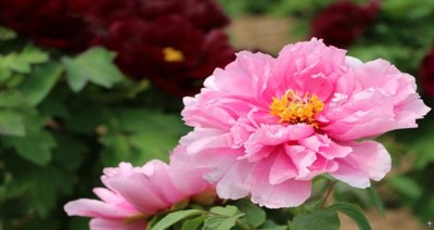 Peonies in full bloom in the Peony Capital of China (Heze)