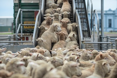 Sheep being loaded onto trucks from the sale yards. Ballarat VIC, Australia, 2013. Photo by Jo-Anne McArthur