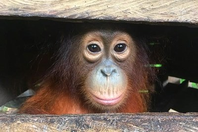 Mary was rescued by The Orangutan Project and the Bornean Orangutan Rescue Alliance (BORA). After many years of rehabilitation, Mary will hopefully be released into the newly protected ecosystem.