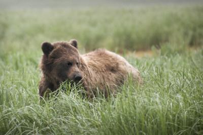 Kwinimass Bear (CNW Group/Genome British Columbia)