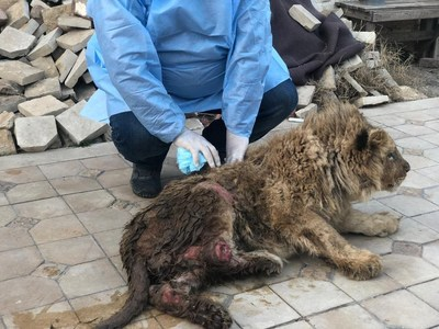 Simba the lion cub was abused and near death when he was first rescued by animal rights activists in Russia. His body was covered with sores and his legs had been broken.