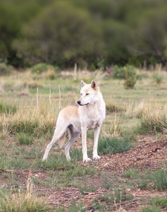 One of 29 wolves rescued by The Wild Animal Sanctuary now living in a large-acreage, natural habitat.
