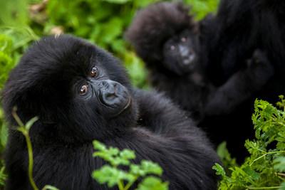 Mountain Gorillas, Rwanda, African Wonders itinerary