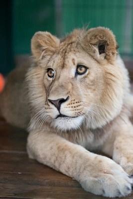 Após receber cuidados médicos na Rússia, Simba se recuperou e agora é um leão lindo e orgulhoso que será repatriado para a África para viver em seu habitat natural. Todos os custos de repatriação serão pagos pela Russian Copper Company.