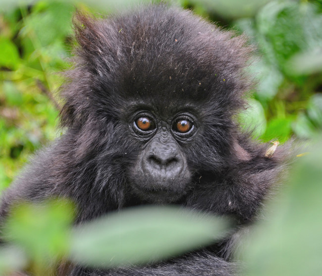 """Award-winning songwriter Diane Warren donates her song """"Free"""" from The One and Only Ivan film, to the Dian Fossey Gorilla Fund's Giving Tuesday fundraising campaign. The Fossey Fund works to protect and study wild gorillas and their habitats and empower people who share the gorillas' forest home. (Photo credit: Dian Fossey Gorilla Fund)"""