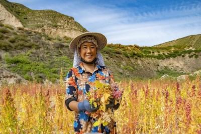 Cosecha de quinoa en el condado autónomo de Dongxiang, provincia de Gansu, China. (PRNewsfoto/Sinopec)