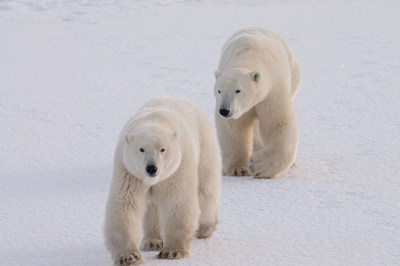 @ BJ Kirschhoffer // polarbearsinternational.org  Two polar bears on newly forming ice and snow along the shore of Western Hudson Bay.