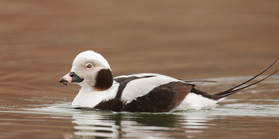 Long tailed Duck, Missy Mandel (CNW Group/Ontario Nature)