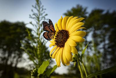 """Toyota ayuda a las mariposas monarca ofreciéndoles a estas coloridas viajeras varias """"paradas técnicas"""" de polinización en su travesía de otoño al sur y de primavera al norte. (PRNewsfoto/Toyota Motor North America)"""