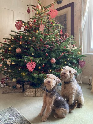 Fig, the six-month-old Lakeland terrier in front of the Christmas tree with his fur growing back on his burn patch. Copyright Vets Now.