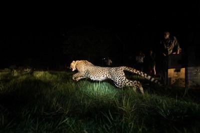 Cheetahs return to Bangweulu Wetlands, Zambia © African Parks / Andrew Beck