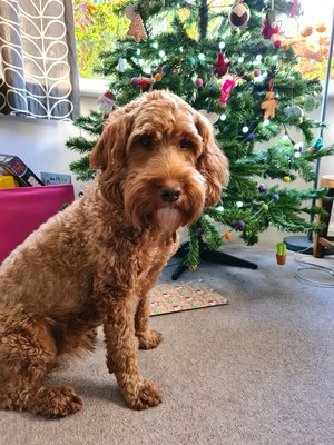 Vets brace themselves for 880% rise in emergency admissions – from greedy dogs like Winston (pictured) who've eaten mince pies meant for Santa.  Copyright Vets Now