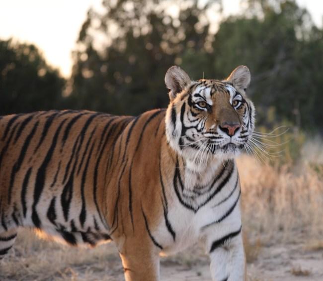 Rescued tiger, Nala, enjoying her large-acreage habitat at The Wild Animal Refuge in Colorado.