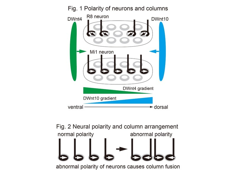 Fig.1 : Polarity of neurons and columns Fig.2 : Neural polarity and column arrangment