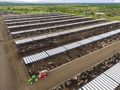 Nicaraguan feedlot cattle
