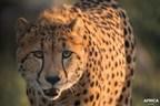 在加拿大的一个前所未有的故事:Parc Safari在非洲的自然栖息地中重新加长了两只猎豹