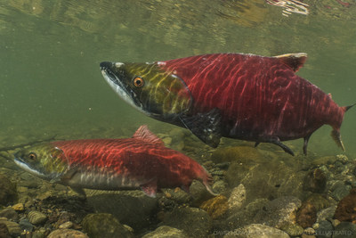 Salmon spawning in the Babine River. Photo Credit: Freshwaters Illustrated (CNW Group/Genome British Columbia)
