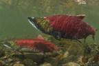 支持野生红鲑鱼管理