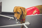 Study Training Dogs To Detect Prostate Cancer Gets One Paw Closer ...