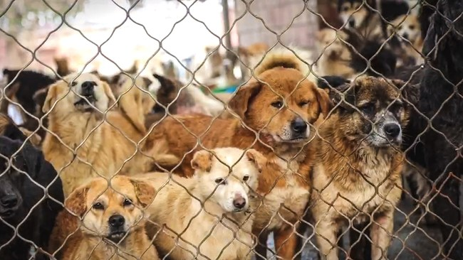 Dogs in China awaiting to be adopted by a forever family here in the United States.