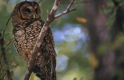 A Northern Spotted Owl perches on a branch (CNW Group/Environment and Climate Change Canada)